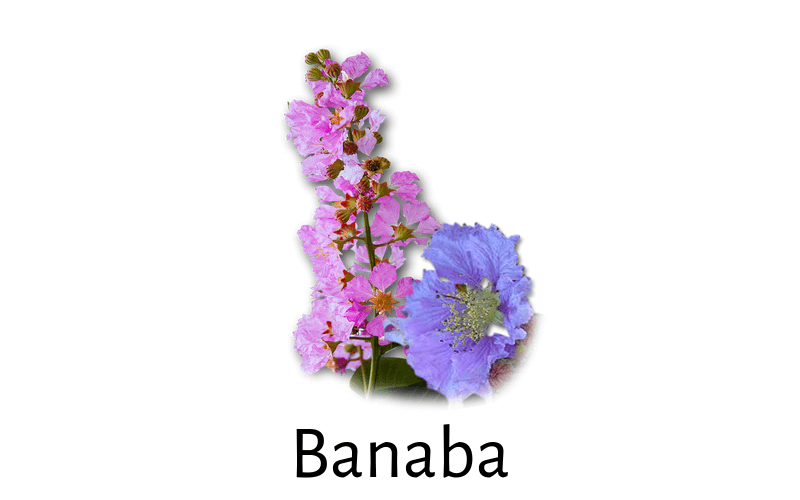 Banaba For Diabetes