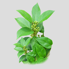 GymnemaSylvestre - Herbal Medicine for Diabetes