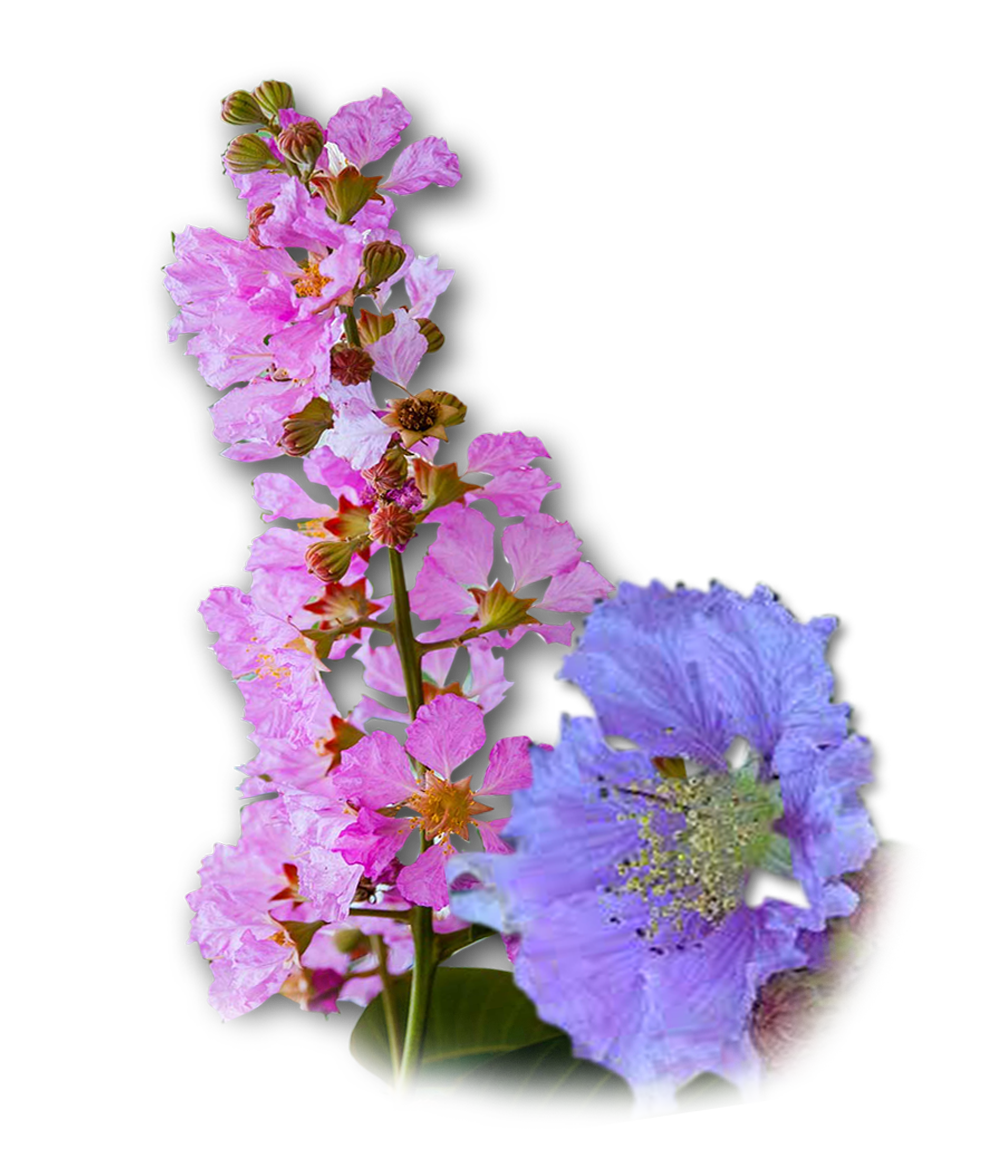 BANABA - medicinal herbs for diabetes, herb with medicinal properties for diabetes