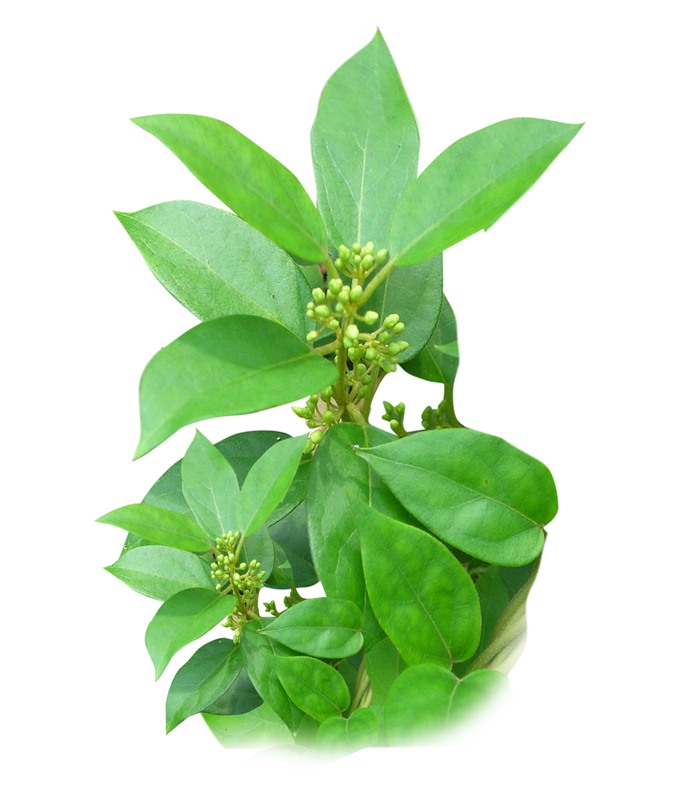 GYMNEMA - medicinal herbs for diabetes, herb with medicinal properties for diabetes