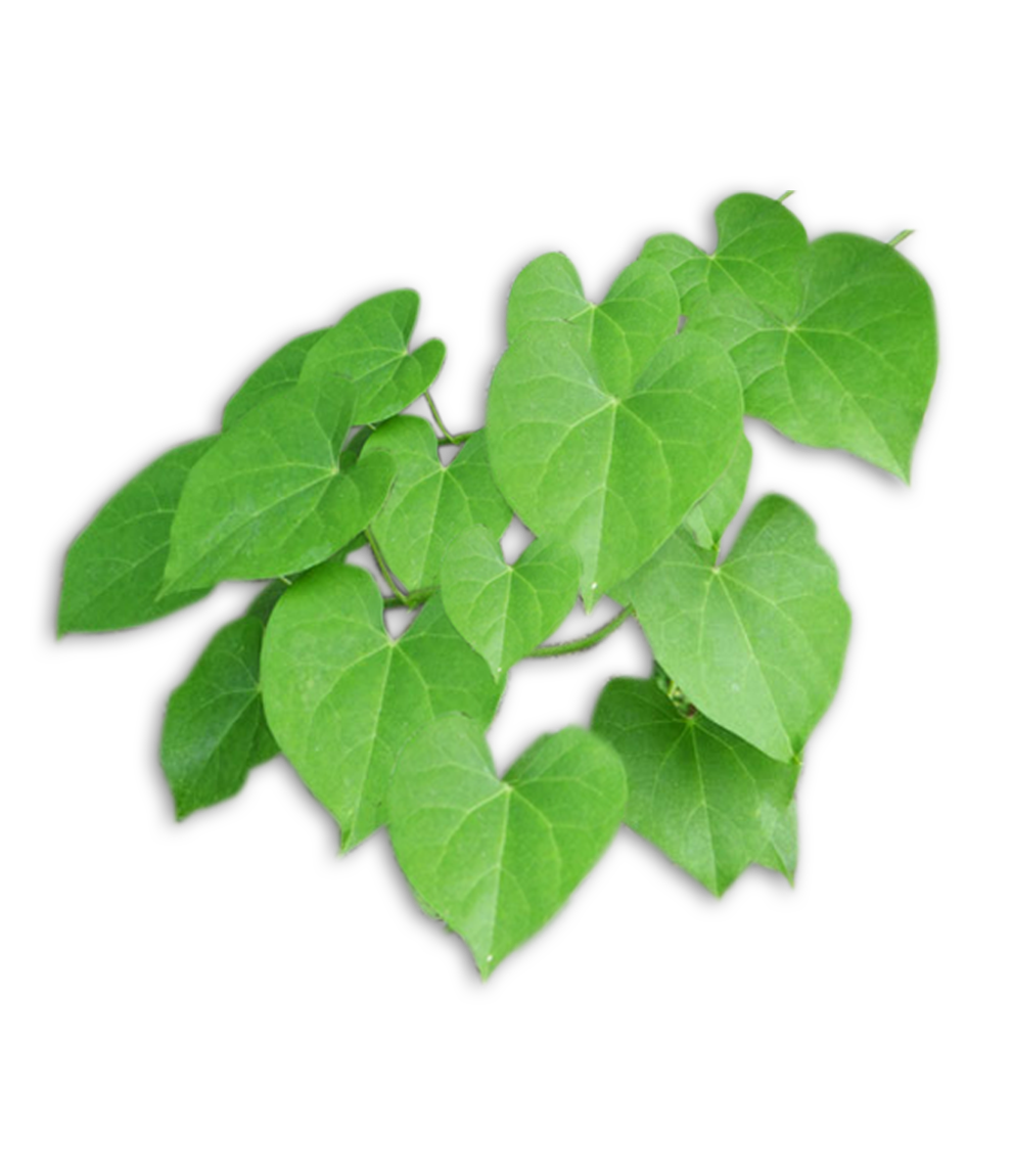 HEART-LEAVED MOONSEED - medicinal herbs for diabetes, herb with medicinal properties for diabetes